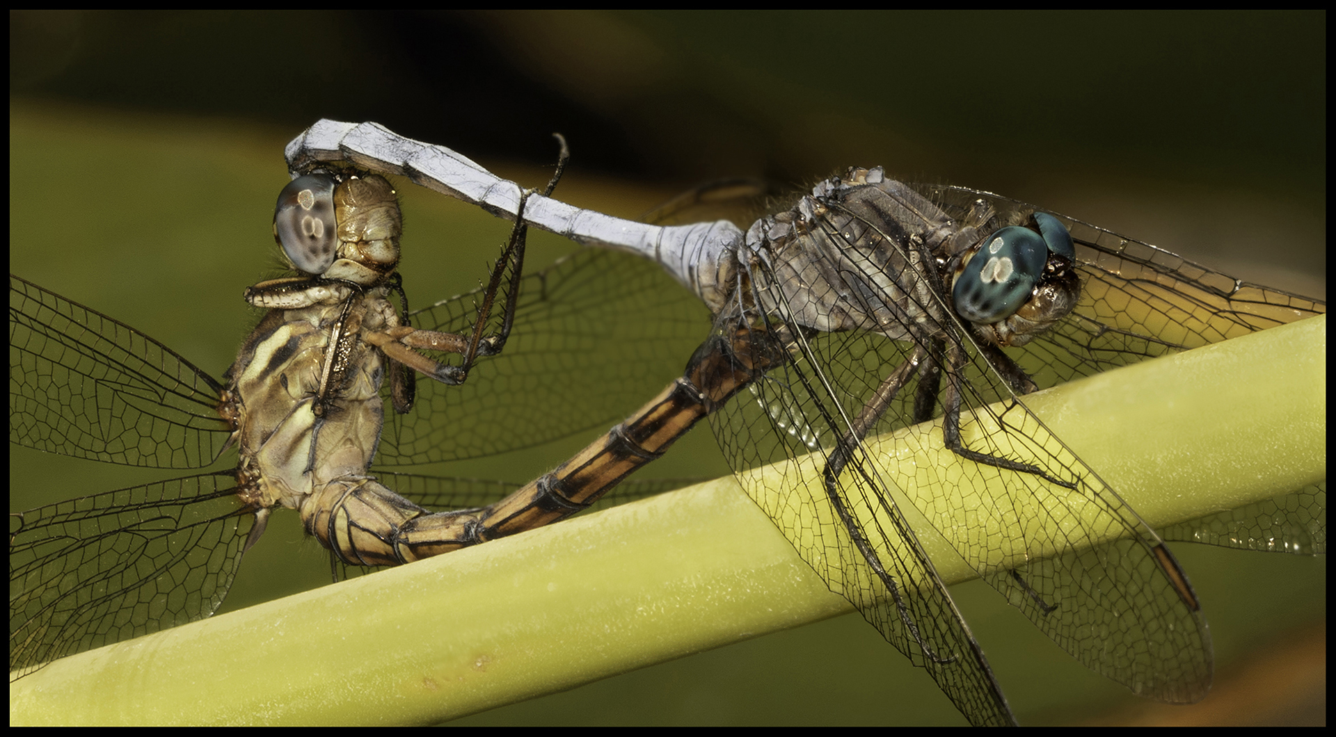 DS001-Mating-Dragonflies-John-Read_1
