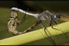 DS001-Mating-Dragonflies-John-Read_1