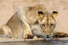 DO001-Lioness at the water-Erwin Kruger-Haye