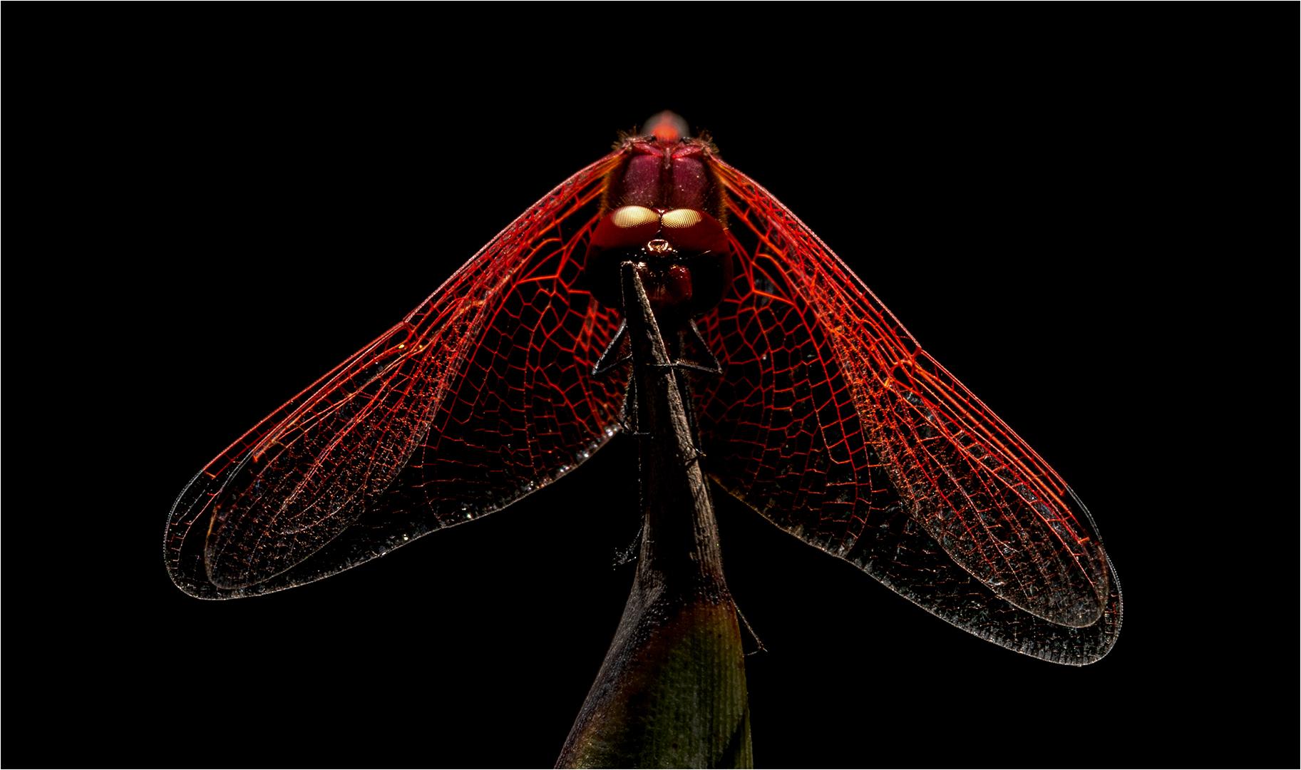 DO001-Dragonfly