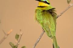 PO001-Botswana-Bee-eater-Leney-Stipp