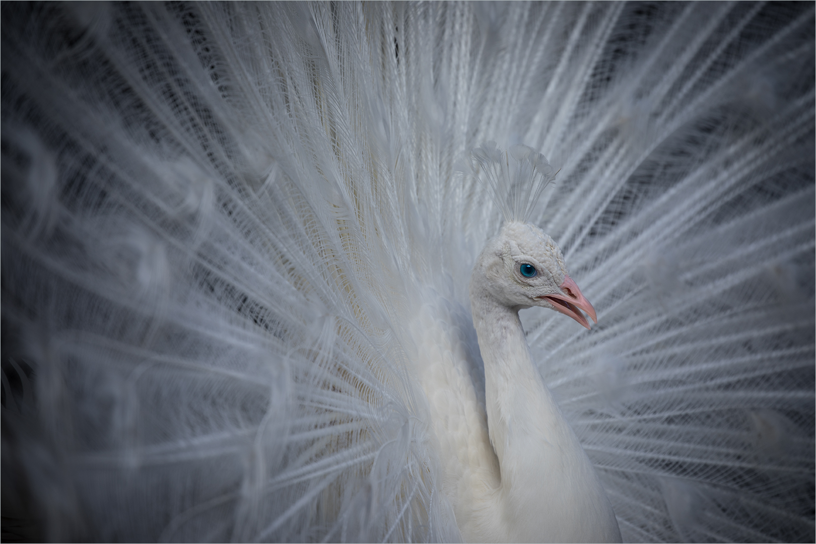 DS001-White-Peacock-1-Stephen-Burgstahler