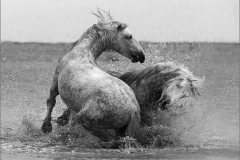 DO002-Stallion-battle-BW-Johan-Beyers