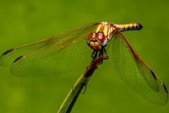 PS001-Dragonfly-Erwin-Kruger-Haye