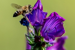 DS001-Bee-on-Spring-Flower-Christo-la-Grange